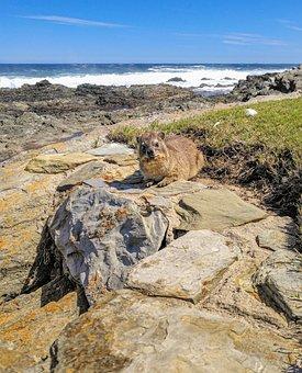 Hyrax, Coastal Landscape, South Africa, Rocky, Mammal