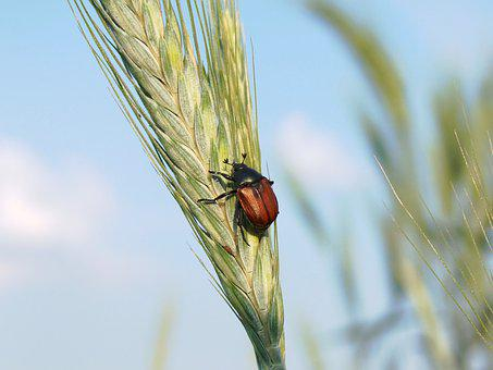 Beetle, Pest, Agriculture, Insect, Triticale