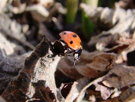 Ladybug, Beetle, Polka Dots, Inch, Holidays, Macro