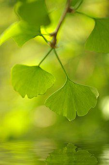 Ginkgo, Tree, Leaves, Mirroring, Branch, Deciduous Tree
