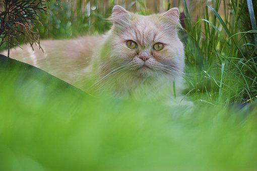 Cat, Persian Cat, My Cat, Kitty, Fur, Animals, Nice