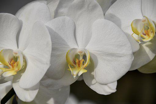 Flower, Orchid, White Flower, White Orchid