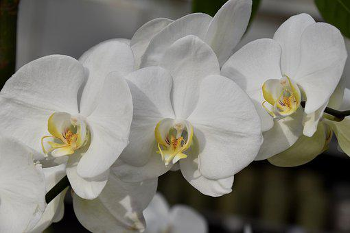 Flower, Orchid, White Flowers Orchid, Nature Offer
