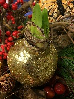 Bolplant, Amaryllis, Grow, Gold, Botany, Our, Bloom