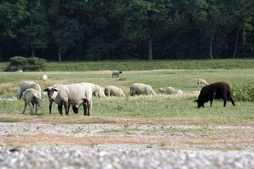 Sheep, Black Sheep, Flock, Pasture, Landscape