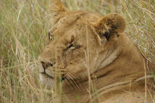 Lion, Animals, Predator, Safari, Lioness, Nature