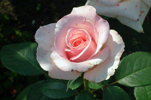 Rose, Flower, Pink, Romantic, Plant, Beauty, Garden