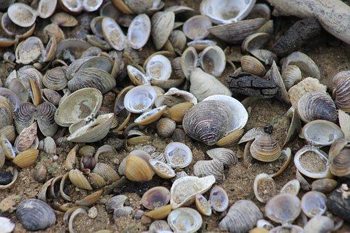 Mussels, River Mussels, Shells, Shell, Beach, Macro