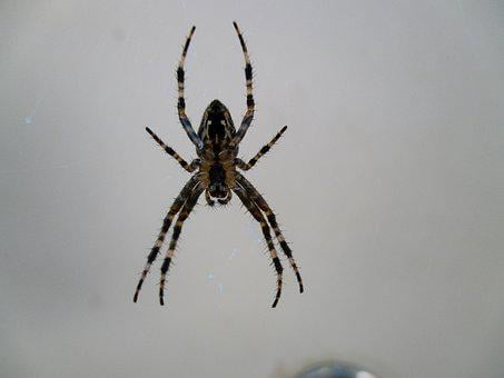 Spider, Insects, Insect, Nature, Tarantula, Blood