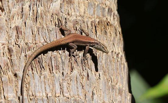 Madeira, Lizard, Madeira-lizard, Teira Dugesii