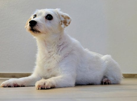 Dog, Terrier, Pet, Race, Cute, Sweet, Charming, Pets