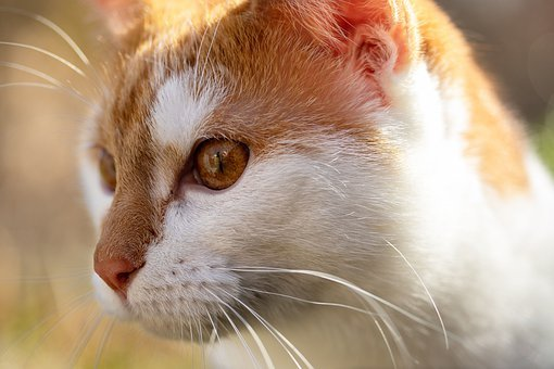 Cat, Red, White, Pet, Domestic Cat, View, Cat Face