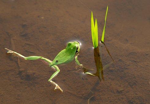 Creature, Frog, Yamada's Rice Fields, Water, Grass