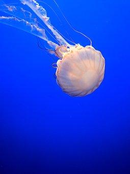 Jellyfish, Monterey, Monterey Bay Aquarium, Aquarium
