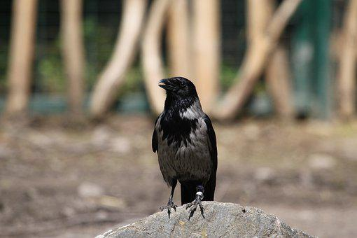 Raabe, Bird, Mystical, Crow, Black, Bill, Animal