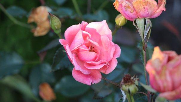 Rose, Pink, Bloom, Blossom, Nature, Spring, Flowers