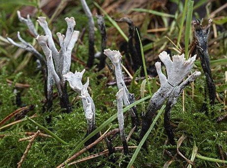 Candlesnuff Fungus, White, Tiny, Mushroom, Macro