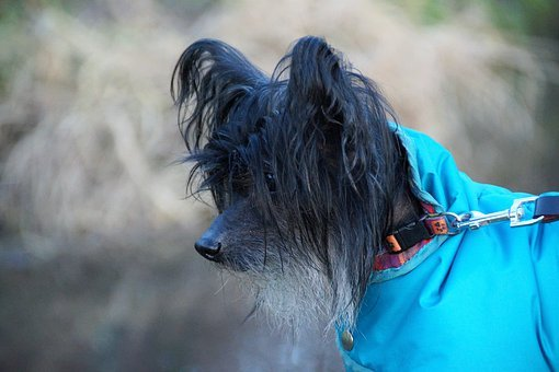 Chinese, Crested, Dog, Hairless Dog, Modified, Natural