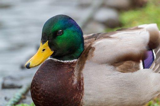 Duck, Mallard, Colourful, Nature, Male
