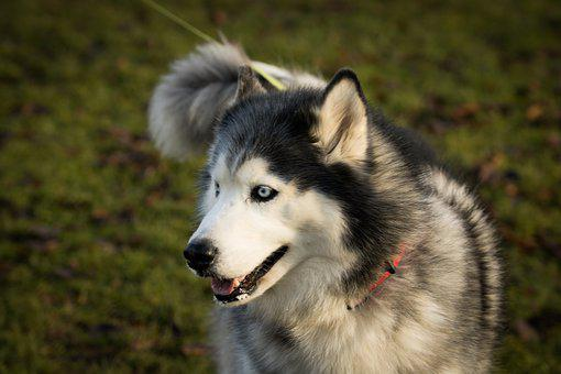 Dog, Hasky, Cute, Doggy, Haski, Nature, Pet, Fur, Breed