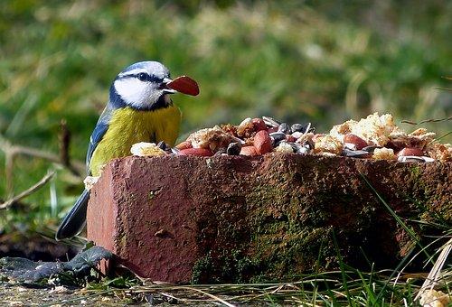 Tit, Bird Seed, Feed, Plumage, Foraging, Peanuts