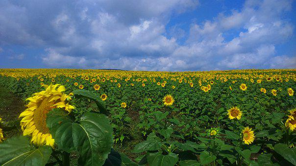 Bulgaria, Sunflowers, Field, Sky, Nature, Summer