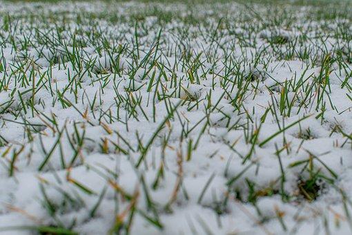First Snow, Meadow, Grass, Snow, Winter