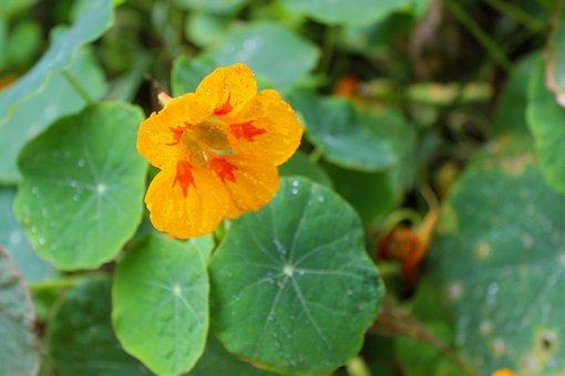 Nasturtium, Flower, Blossom, Spring, March, April