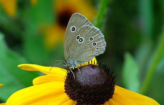 Butterfly, Insect, Flower, Rudbeckia Golden, Nature