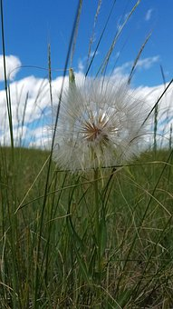 Prairie, Seeds, Wildflower, Wish, Grass, Flower
