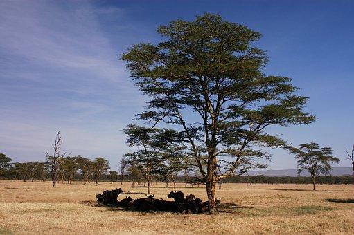 Buffalo, African Buffalo, Africa, Nature, Horns