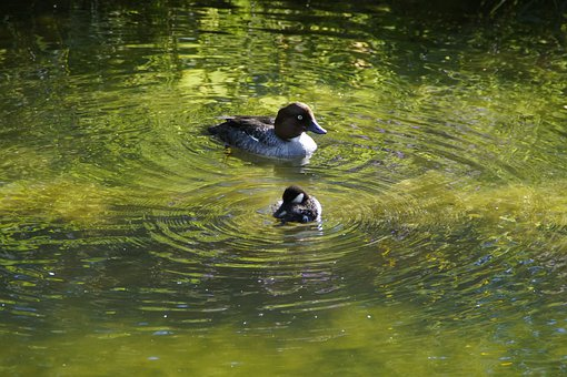Pochard, Water, Lake, Waters, Pond, Swim, Young Bird