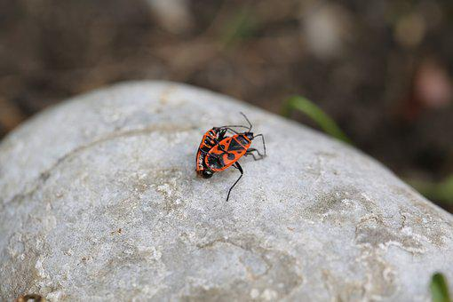 Fire Beetle, Insect, Beetle, Nature, Red, Close Up