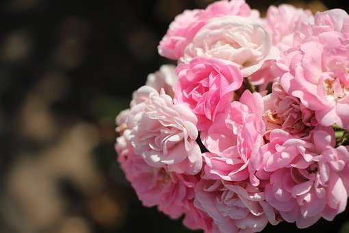 Cluster, Pink, Bright, Rose, Flowers, Love, Romance