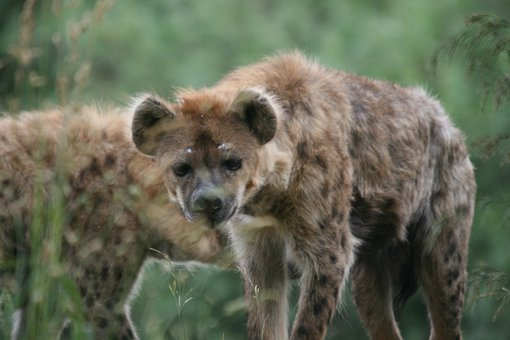 Hyena, Dog, Zoo, Animal, Predator, Hunter, Scavenger
