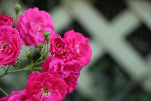 Blooms, Pink, Lattice, Bloom, Rose, Blossom, Nature