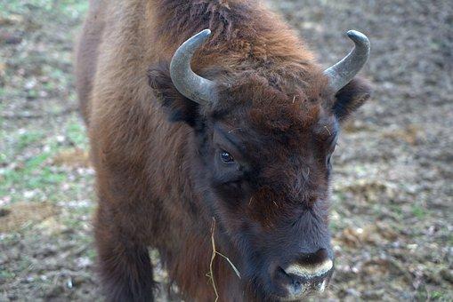 Wisent, Head, Animal, Sababurg Castle, Fur, Zoo, Mammal