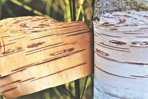 Schälbirke, Birch, Bark, Tree, Tribe, White, Forest
