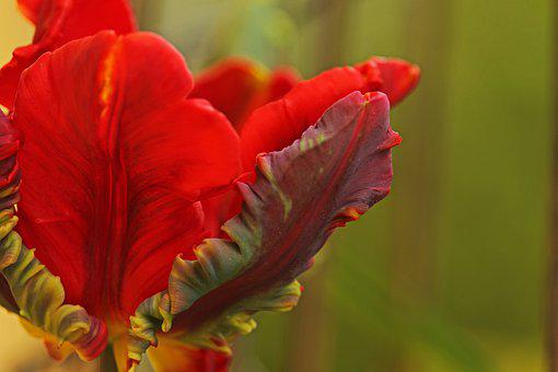 Tulip, Parrot Tulip, Spring, Plant, Garden, Bloom