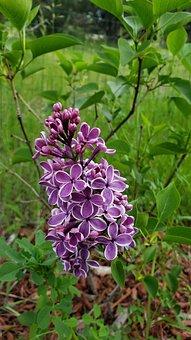 Easter, Lilac, Sensation, Purple, Flower, Spring