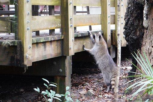 Animals, Raccoon, Wildlife, Cute, Spy, Thief, Wild
