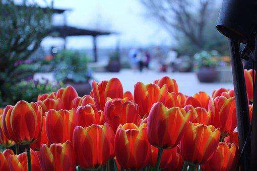 Dallas, Texas, Arboretum, Garden, Tulips, Plants
