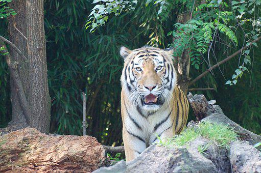 Tiger, Zoo, Predator, Cat, Big Cat, Animal Portrait
