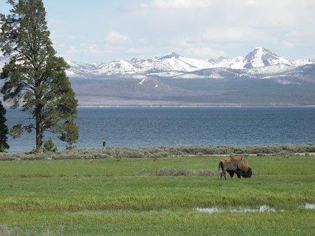 Usa, National Park, Yellowstone, Bison, Lake, Mountains