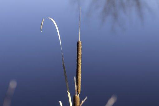 Wildflower, Mace, Cattail, Rushes, Villosa Iris, Crop