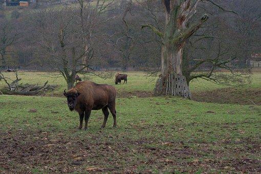 Wisent, Sababurg Castle, Head, Fur, Zoo, Mammal, Nature