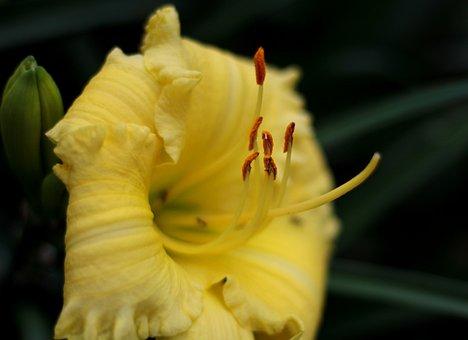 Hemerocallis The African Timber, Daylily, Yellow