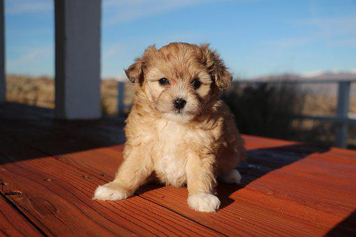 Aussiedoodle, Puppy, Cute, Young, Hybrid, Aussiepoo
