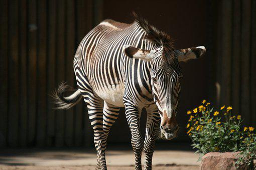 Zebra, Zoo, Striped, Wildlife, Black, White, Horse