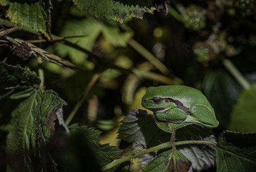 Nature, Frog, Amphibian, Animal, A Tree-frog, Animals